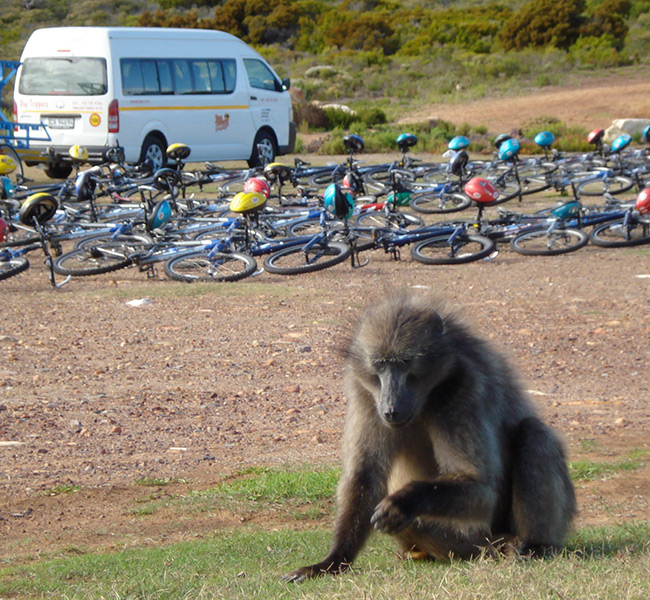 Baboon at the Cape Peninsula