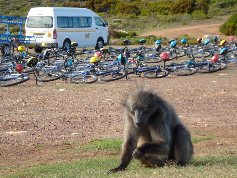 Baboon sitting day tours